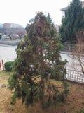 Pruned fir tree. Pruned fir evergreen coniferous tree in winter Stock Images