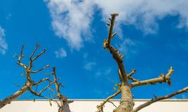 Pruned fruit tree along a white wall in sunlight. At fall Stock Images
