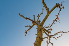 Pruned fruit tree in a blue sky in sunlight at fall. Pruned fruit tree in a blue sky in sunlight in autumn Stock Photo