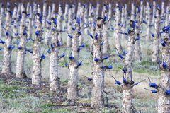 Pruned fruit trees Royalty Free Stock Photo