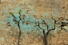 Pruned grape vines against a wall. Budding pruned grape vines against a painted wall in the village of Inikli, Turkey stock photography