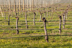 Pruned grapevine trunks in vineyard at early spring Royalty Free Stock Photos