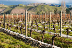Pruned grapevine in vineyard Stock Photography