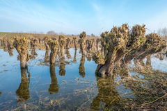 Pruned irregularly shaped willow trees in the water Stock Photo