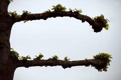 Pruned lime tree / linden Tilia europaea in spring Stock Photos
