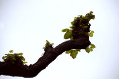 Pruned lime tree / linden Tilia europaea in spring Stock Image