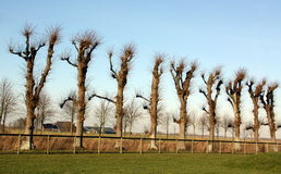 Pruned linden trees Royalty Free Stock Photography