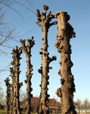 Pruned llnden trees Stock Images