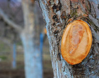Free Pruned  Old Idared Apple Tree Royalty Free Stock Photo - 51738135