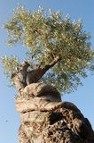 Pruned olive tree. Old olive tree is radically pruned Royalty Free Stock Photography