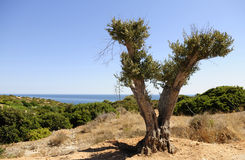 Pruned Olive Tree - Blue Water Scenery Stock Photos
