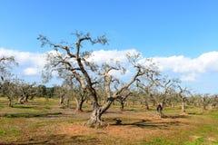 Pruned olive trees, Avetrana (Italy) Stock Photography