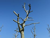 Pruned plane-trees against blue sky. Some pruned plane-trees against a bright blue sky their branches reaching out for new life Royalty Free Stock Photography