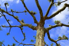 Pruned platan tree. And blue sky from above royalty free stock photography