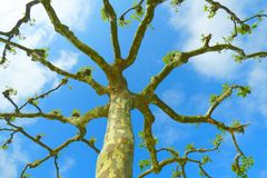 Pruned platan tree. And blue sky from above royalty free stock image