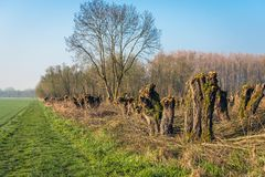 Pruned pollard willows. Recently pruned pollard willow trees in the foreground of a forest and next to grass. The photo was taken in the beginning of spring in royalty free stock photos
