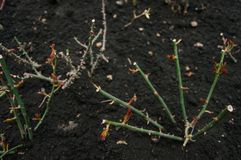 Pruned Chinese roses twig isolated on black soil. Pruned roses isolated on black ground in winter, closeup stock photos