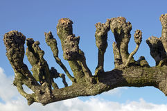 Pruned tree Royalty Free Stock Photography