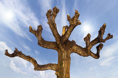 Pruned Tree on a Blue Sky. Detail of the upper part a pruned brown tree on blue sky Stock Image