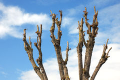 Pruned Tree on a Blue Sky Stock Images