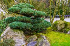 Pruned tree in japanese style, Topiary art, Asian traditions. A pruned tree in japanese style, Topiary art, Asian traditions stock photography
