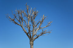 Pruned tree. Without leaves against blue sky Stock Photo