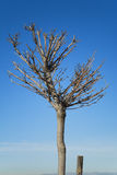 Pruned tree. Without leaves against blue sky Royalty Free Stock Photos