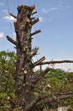Pruned tree. Shot of a pruned tree in winter Stock Image