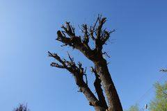 Pruned tree in spring sunny day against blue sky.  stock photo