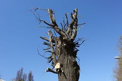 Pruned tree in spring sunny day against blue sky.  royalty free stock photography