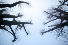 Pruned tree tops in silhouette. Against a light blue late autumn dawn sky royalty free stock photography