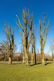 Pruned trees the Amsterdam Vondelpark. In the Netherlands royalty free stock image