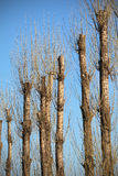 Pruned trees Royalty Free Stock Images