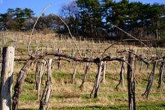 Pruned vines in early spring in vineyard.  royalty free stock image