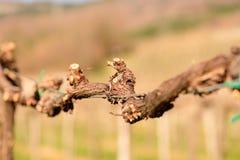 Pruned vines in early spring in vineyard.  stock images