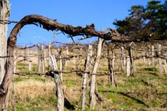 Pruned vines in early spring in vineyard.  royalty free stock images