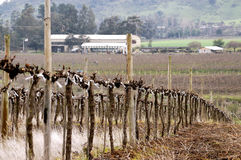Pruned vineyards Stock Photography