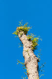 Pruned willow tree against blue sky Stock Photography