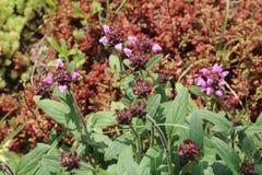 Prunella grandiflora Stock Image