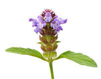 Prunella-(Selbst-heilen Sie), Blume auf weißem Hintergrund Lizenzfreies Stockfoto