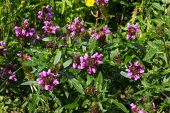 Prunella or self-heal or all-heal plants. Prunella or self-heal plants, it can be used in alternative medicine Stock Photography