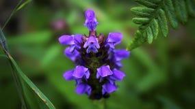 Prunella Vulgaris, или Само-излечивает цветок Стоковая Фотография RF