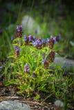 Prunella vulgaris - Само-излечите стоковые изображения rf