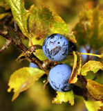 Prunellier d'automne images stock