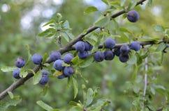 Prunelliers, fruit du prunellier image libre de droits