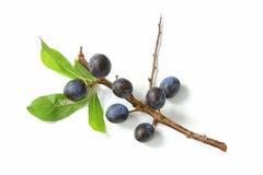 Prunelliers - fruits de prunellier Images libres de droits