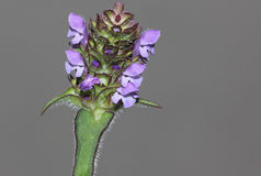 Prunella vulgaris, Common self-heal, Heal all Stock Photos