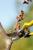 Pruner cutting dry branch Stock Photos