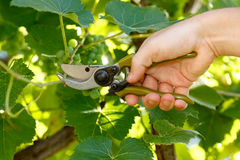 Pruner cutting grape tree Stock Images