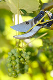 Pruner cutting grape tree Stock Photography